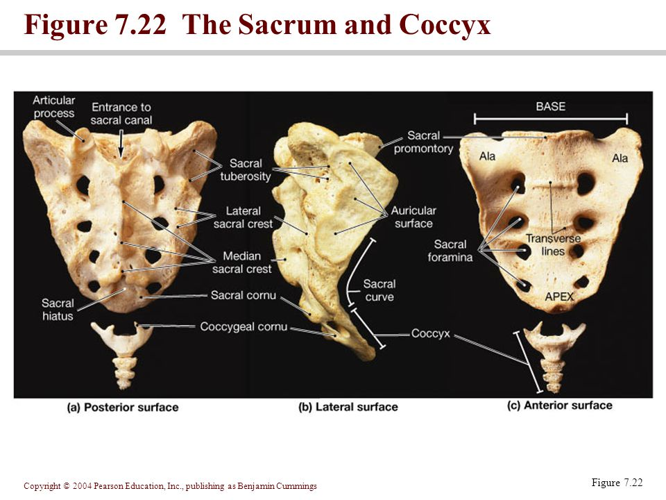 Figure 7.22 The Sacrum and Coccyx