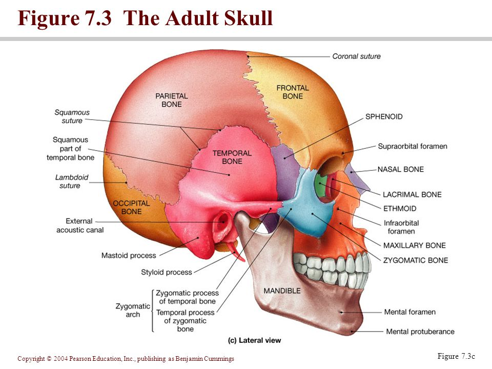 Figure 7.3 The Adult Skull Figure 7.3c