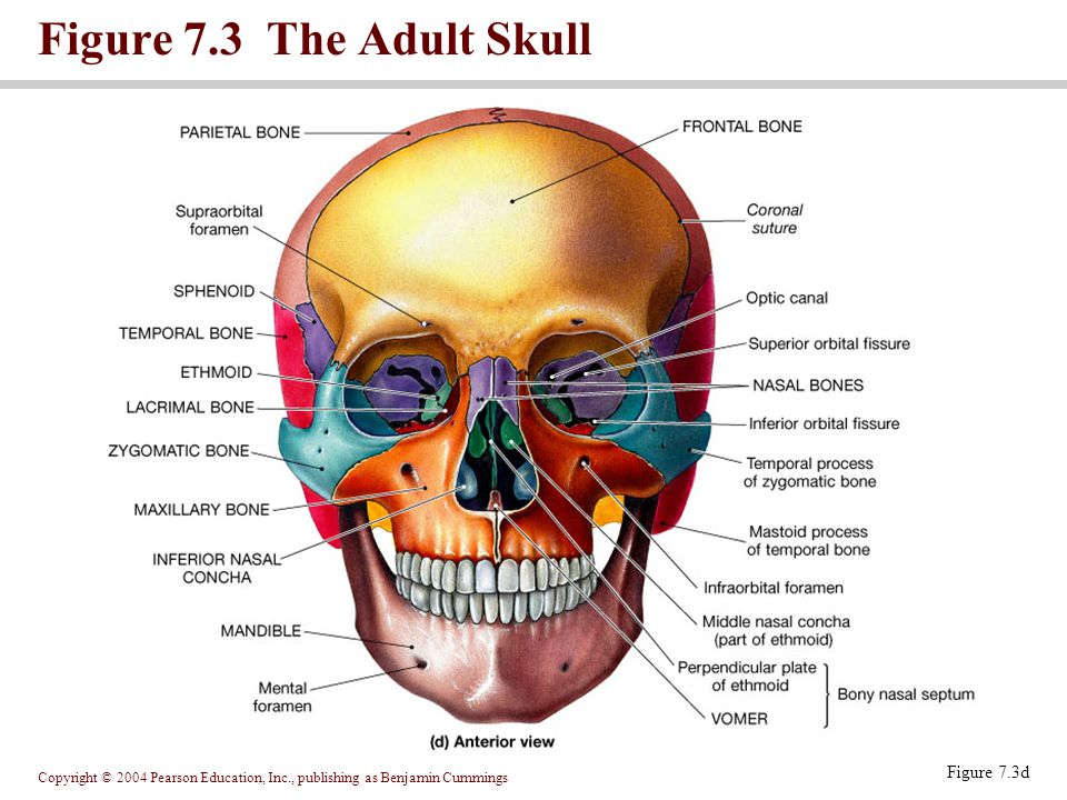 Figure 7.3 The Adult Skull Figure 7.3d