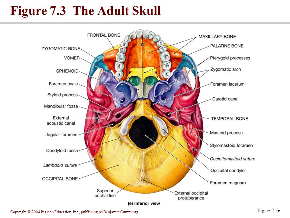 Figure 7.3 The Adult Skull Figure 7.3e