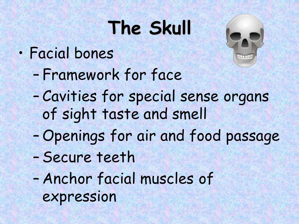 The Skull Facial bones Framework for face