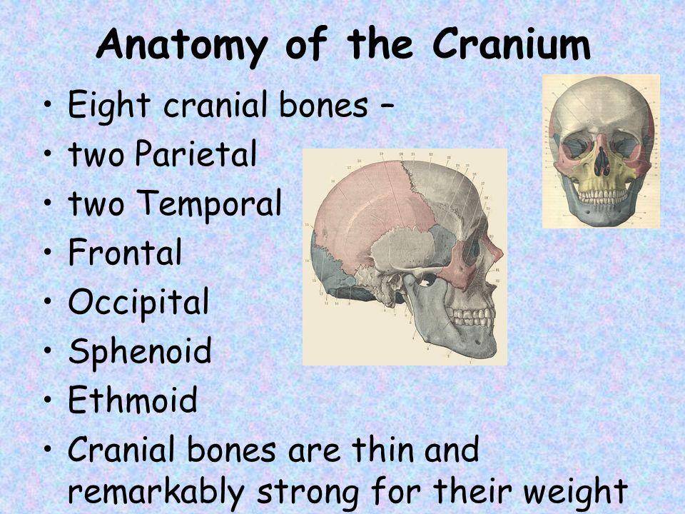 Anatomy of the Cranium Eight cranial bones – two Parietal two Temporal