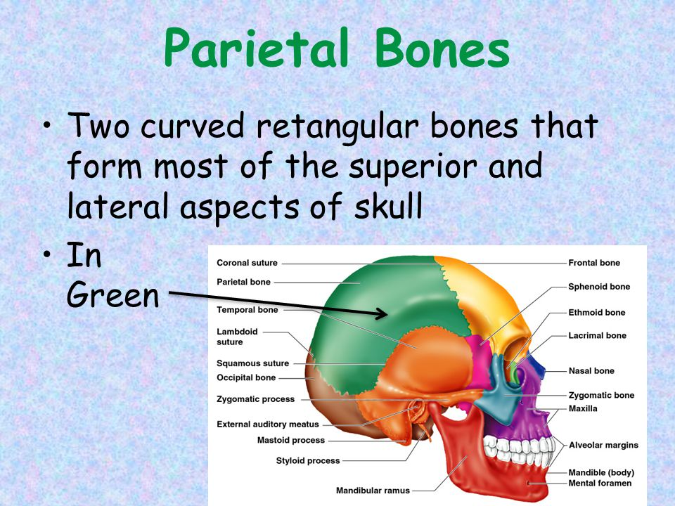 Parietal Bones Two curved retangular bones that form most of the superior and lateral aspects of skull.