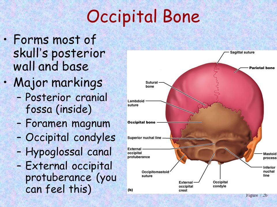 Occipital Bone Forms most of skull's posterior wall and base