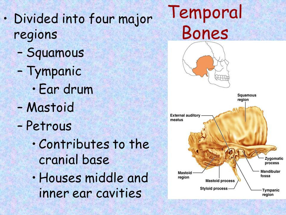 Temporal Bones Divided into four major regions Squamous Tympanic