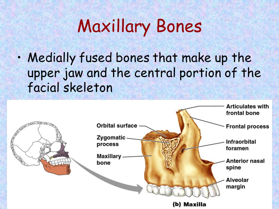 Maxillary Bones Medially fused bones that make up the upper jaw and the central portion of the facial skeleton.