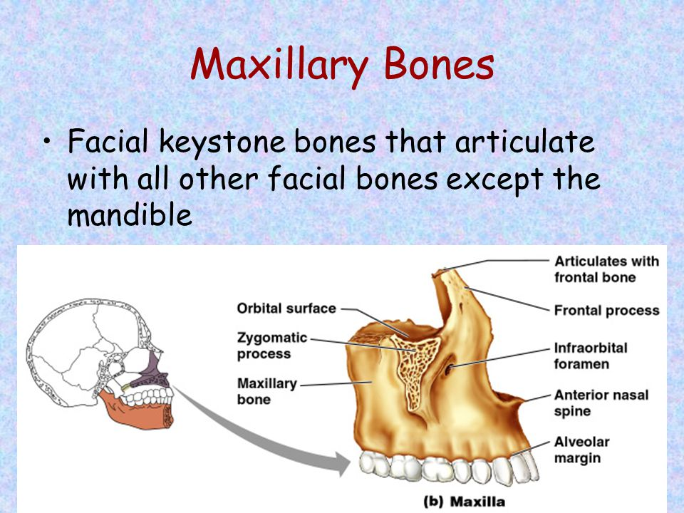 Maxillary Bones Facial keystone bones that articulate with all other facial bones except the mandible.