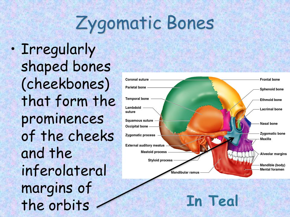 Zygomatic Bones Irregularly shaped bones (cheekbones) that form the prominences of the cheeks and the inferolateral margins of the orbits.