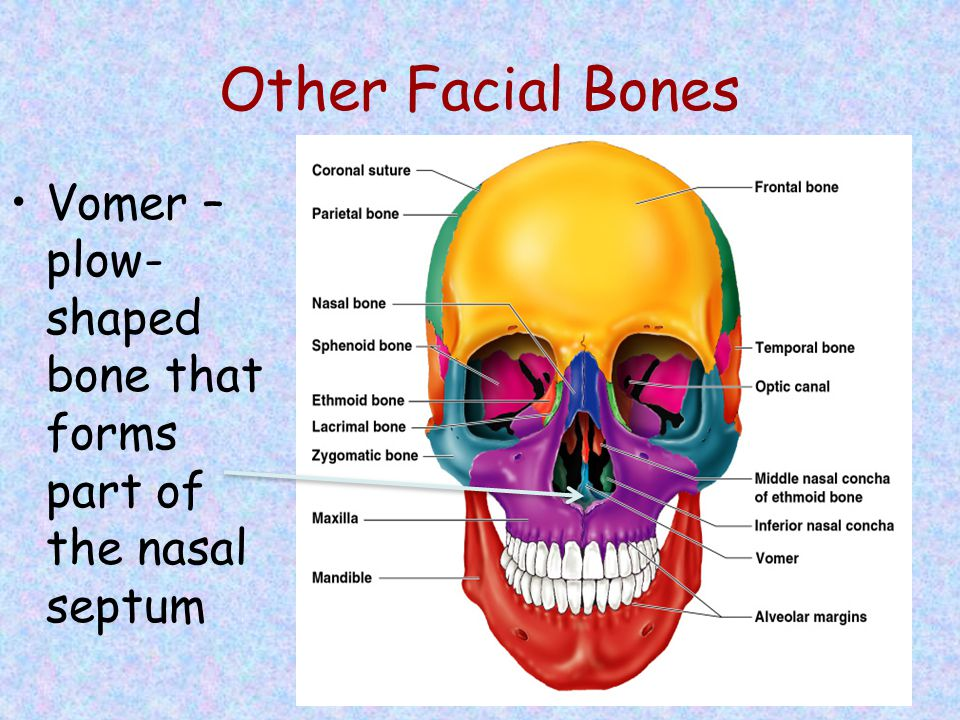Other Facial Bones Vomer – plow-shaped bone that forms part of the nasal septum