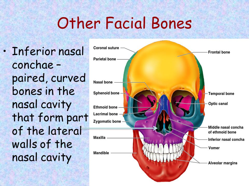 Other Facial Bones Inferior nasal conchae – paired, curved bones in the nasal cavity that form part of the lateral walls of the nasal cavity.