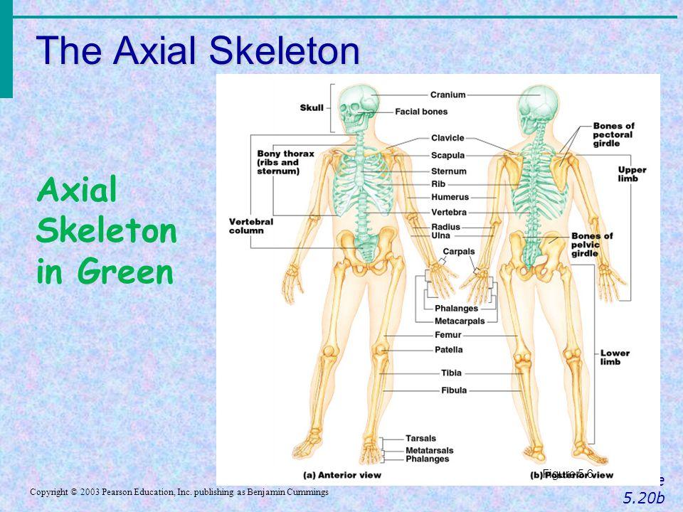 The Axial Skeleton Axial Skeleton in Green Slide 5.20b Figure 5.6