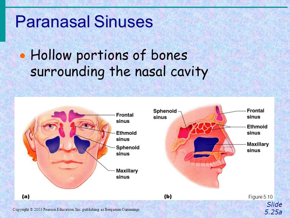 Paranasal Sinuses Hollow portions of bones surrounding the nasal cavity. Figure 5.10. Slide 5.25a.