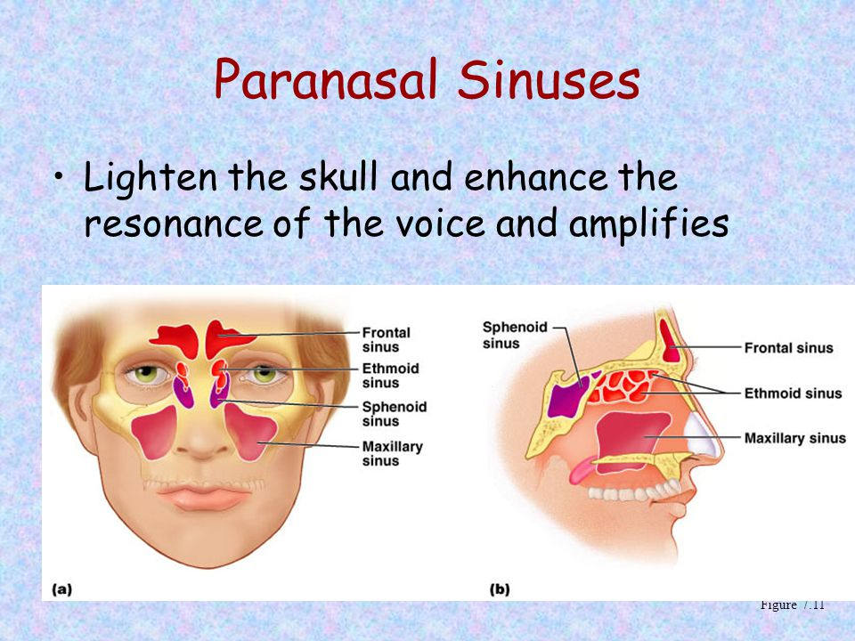 Paranasal Sinuses Lighten the skull and enhance the resonance of the voice and amplifies.