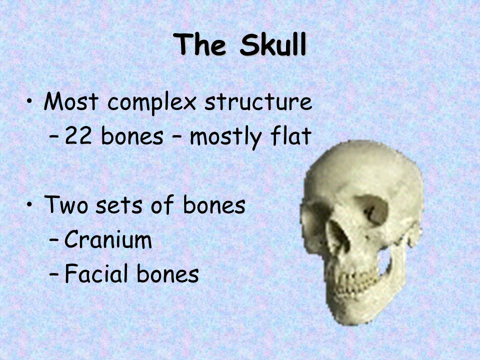 The Skull Most complex structure 22 bones – mostly flat
