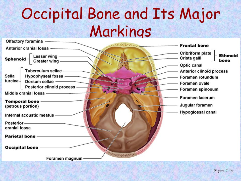 Occipital Bone and Its Major Markings