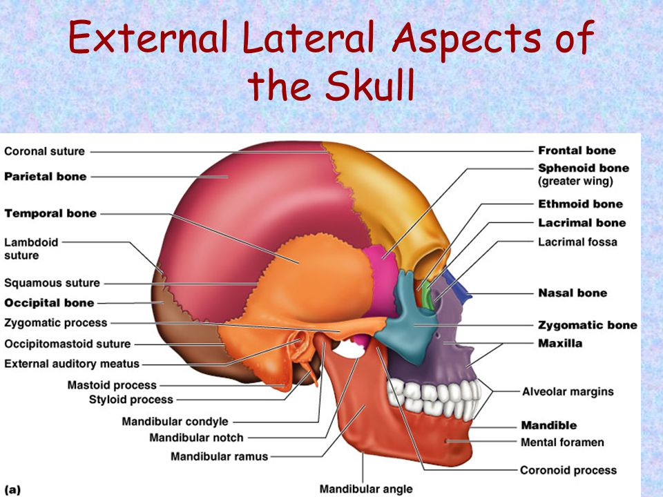 External Lateral Aspects of the Skull