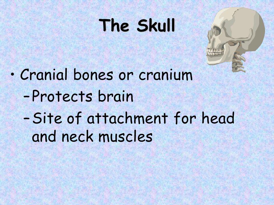The Skull Cranial bones or cranium Protects brain