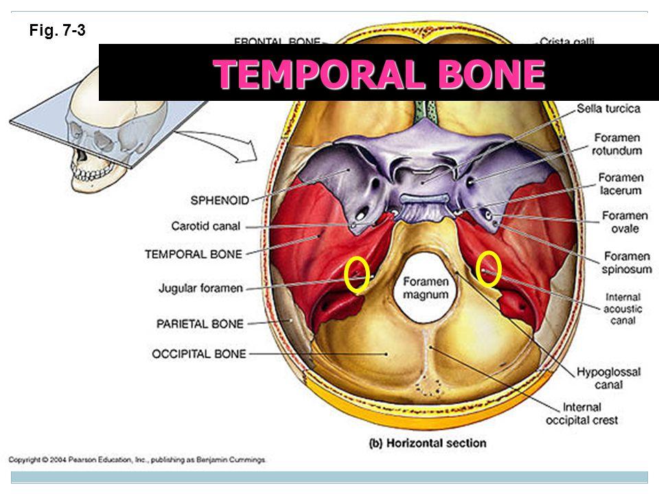 Fig. 7-3 TEMPORAL BONE
