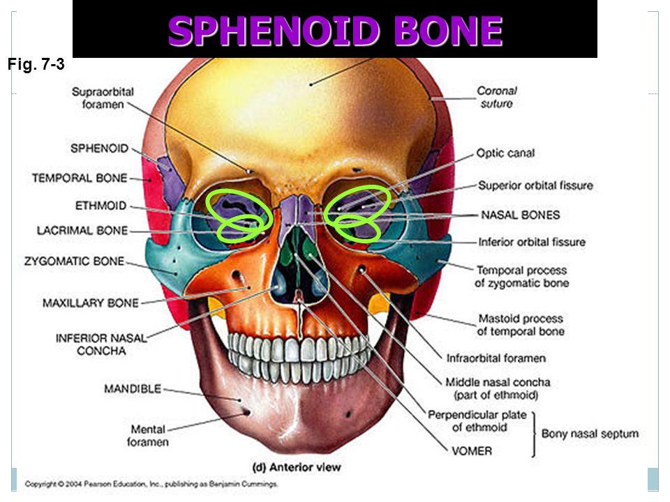 SPHENOID BONE Fig. 7-3
