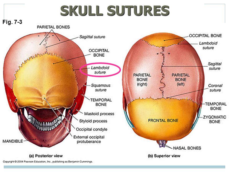 Cranial sutures anatomy