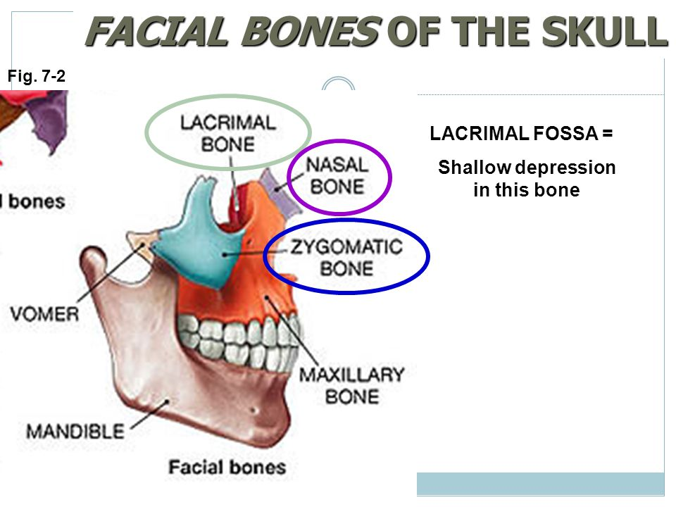 FACIAL BONES OF THE SKULL Shallow depression in this bone