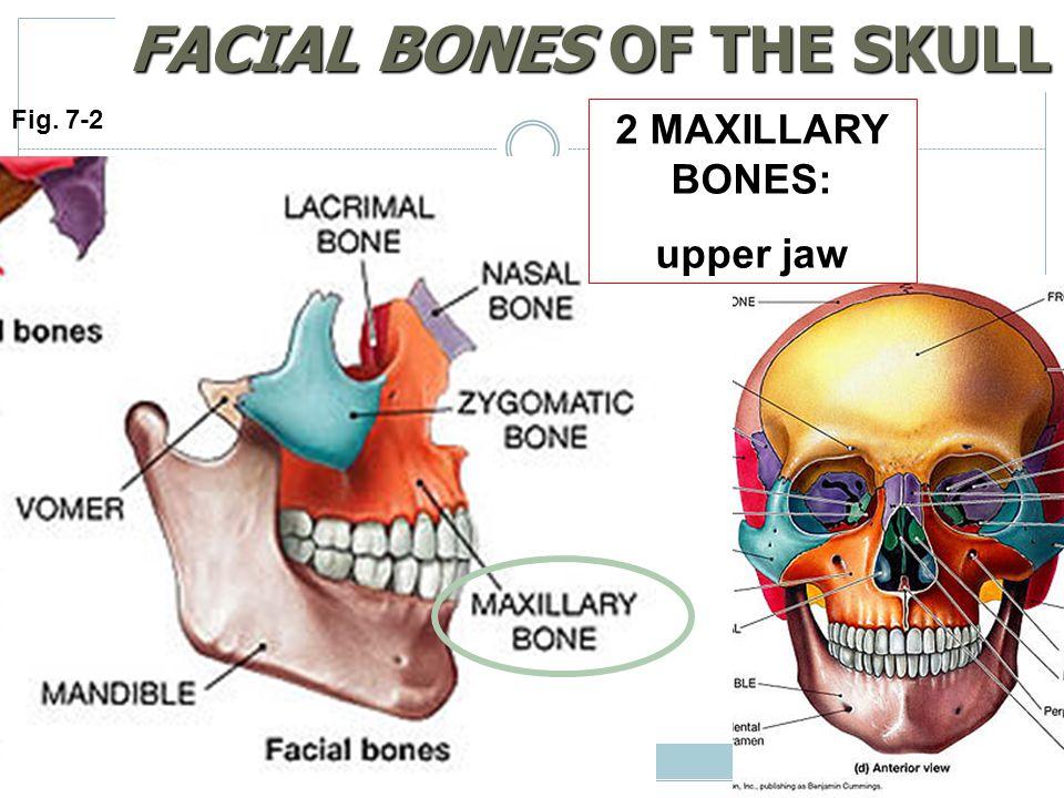 FACIAL BONES OF THE SKULL