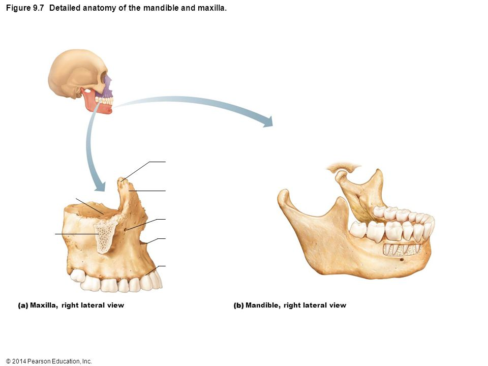Figure 9.7 Detailed anatomy of the mandible and maxilla.