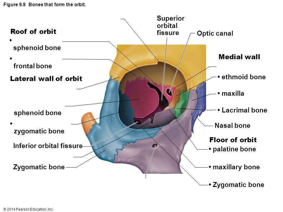 Figure 9.8 Bones that form the orbit.