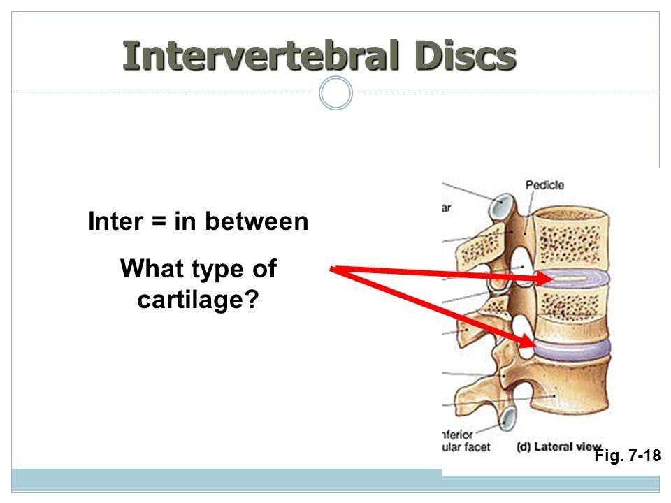 Intervertebral Discs Inter = in between What type of cartilage