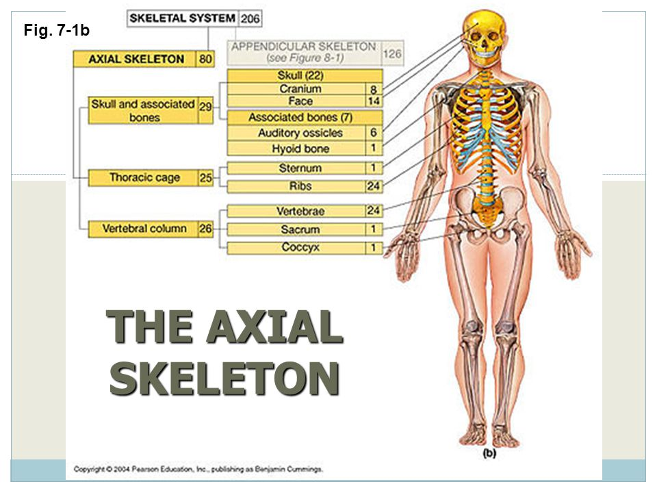 Fig. 7-1b THE AXIAL SKELETON