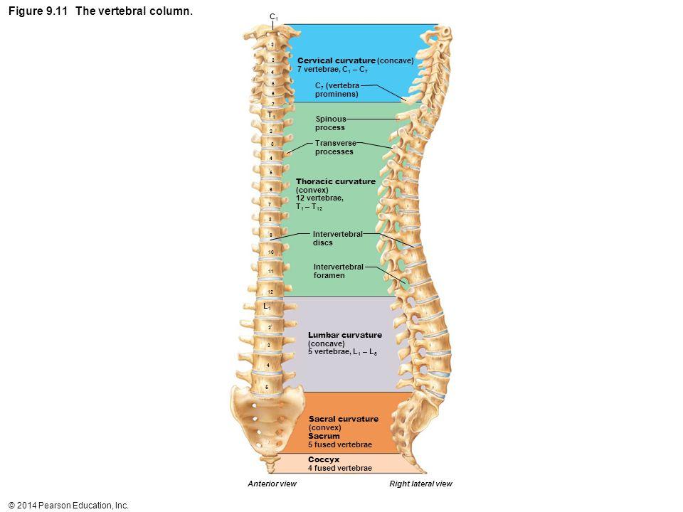 Figure 9.11 The vertebral column.