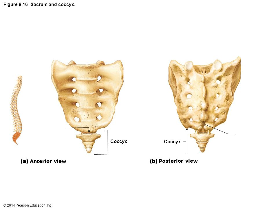 Figure 9.16 Sacrum and coccyx.