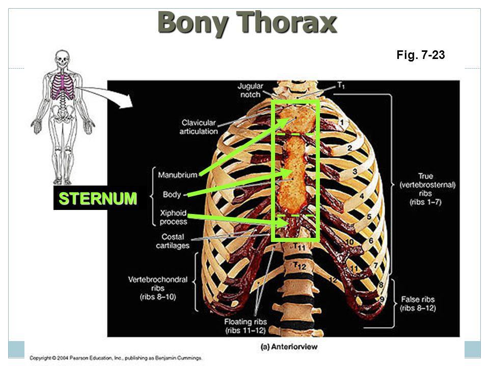 Bony Thorax Fig. 7-23 STERNUM