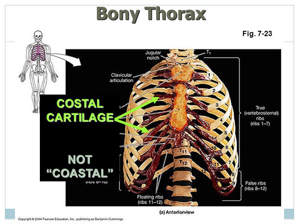 Bony Thorax Fig. 7-23 COSTAL CARTILAGE NOT COASTAL