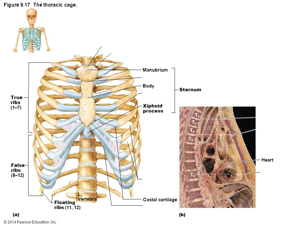 Figure 9.17 The thoracic cage.