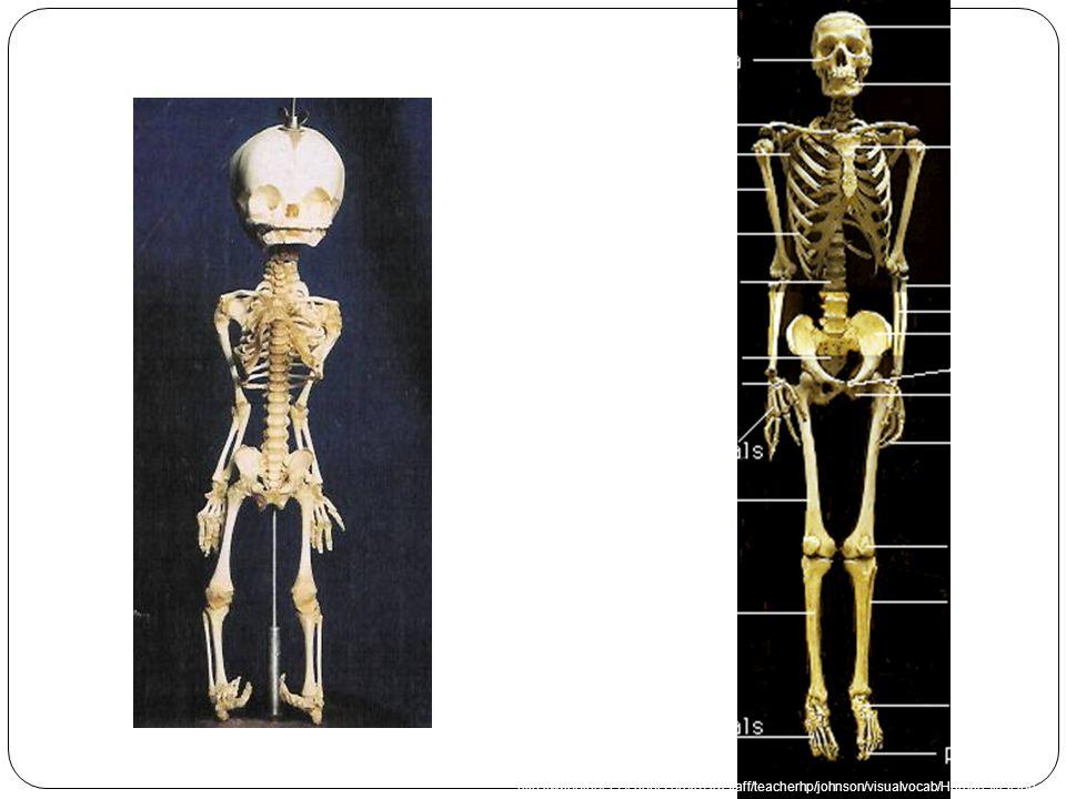 Face: cranium Head:body Ossification centers Frontal bone Vertebrae