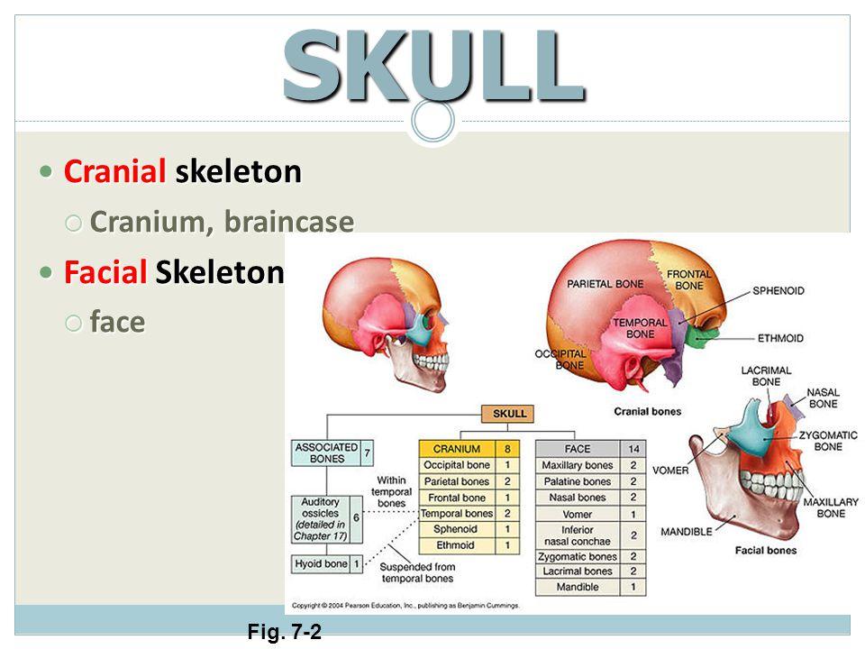 SKULL Cranial skeleton Facial Skeleton Cranium, braincase face