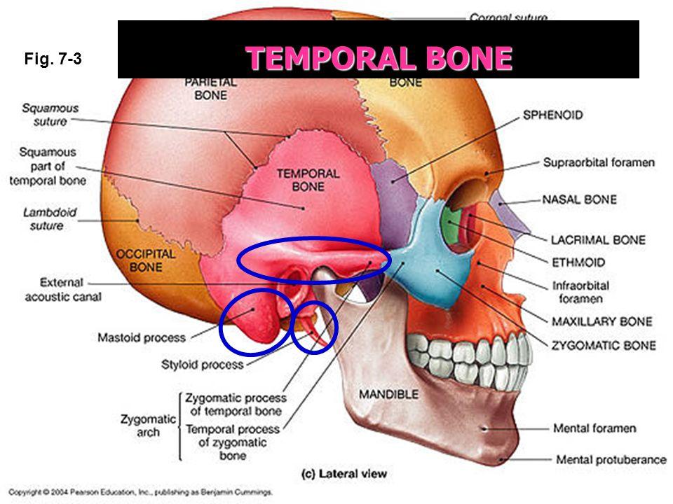 TEMPORAL BONE Fig. 7-3