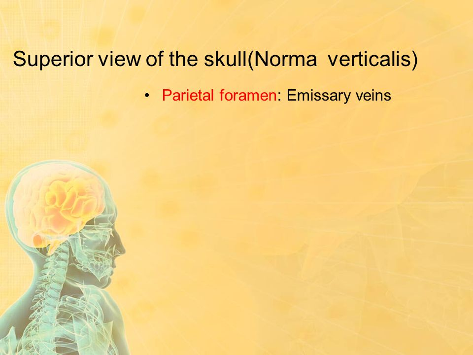 Superior view of the skull(Norma verticalis)