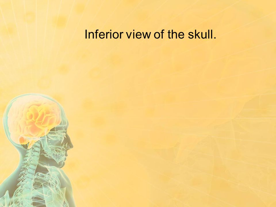 Inferior view of the skull.