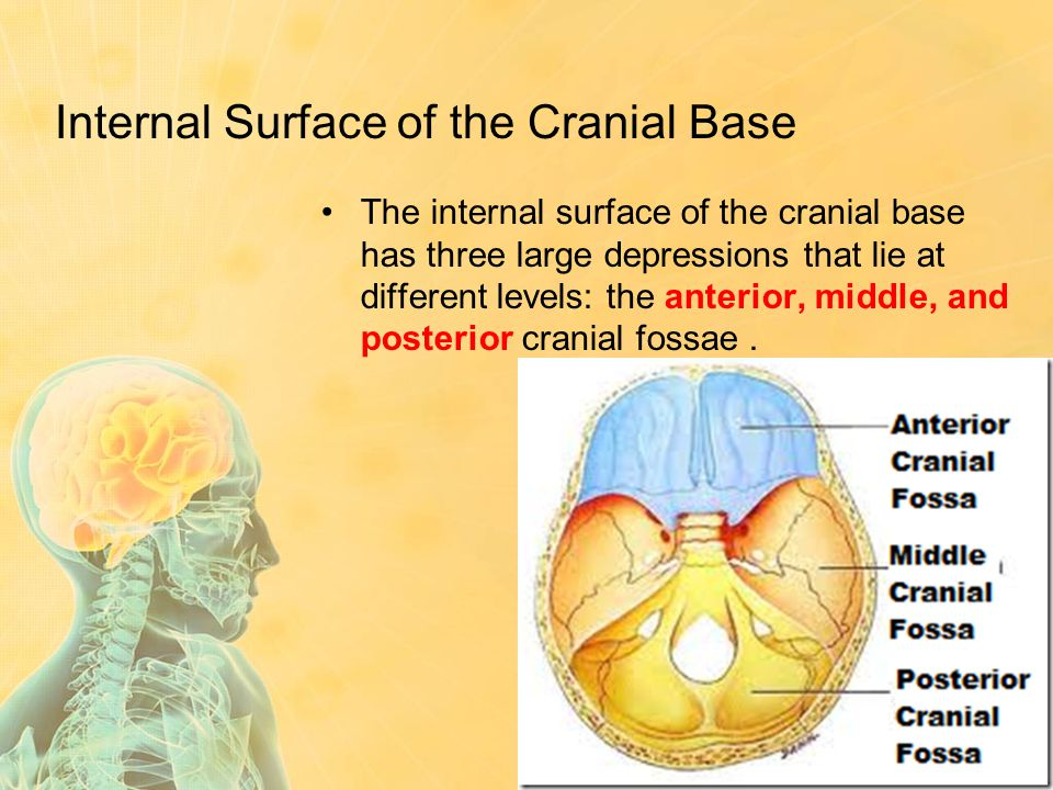 Internal Surface of the Cranial Base