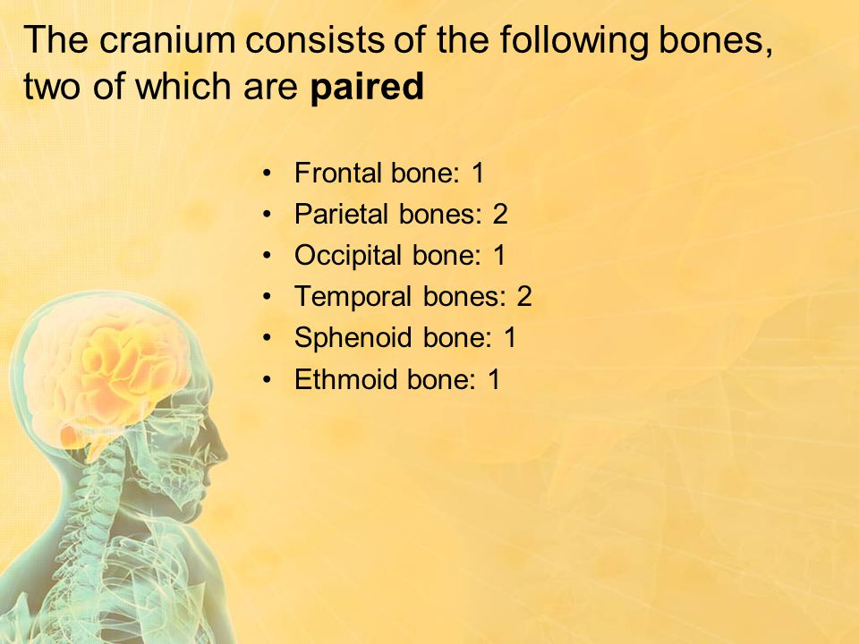 The cranium consists of the following bones, two of which are paired