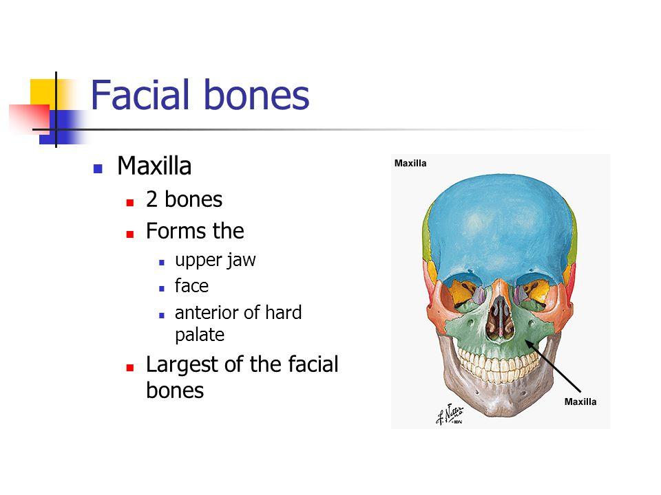 Facial bones Maxilla 2 bones Forms the Largest of the facial bones