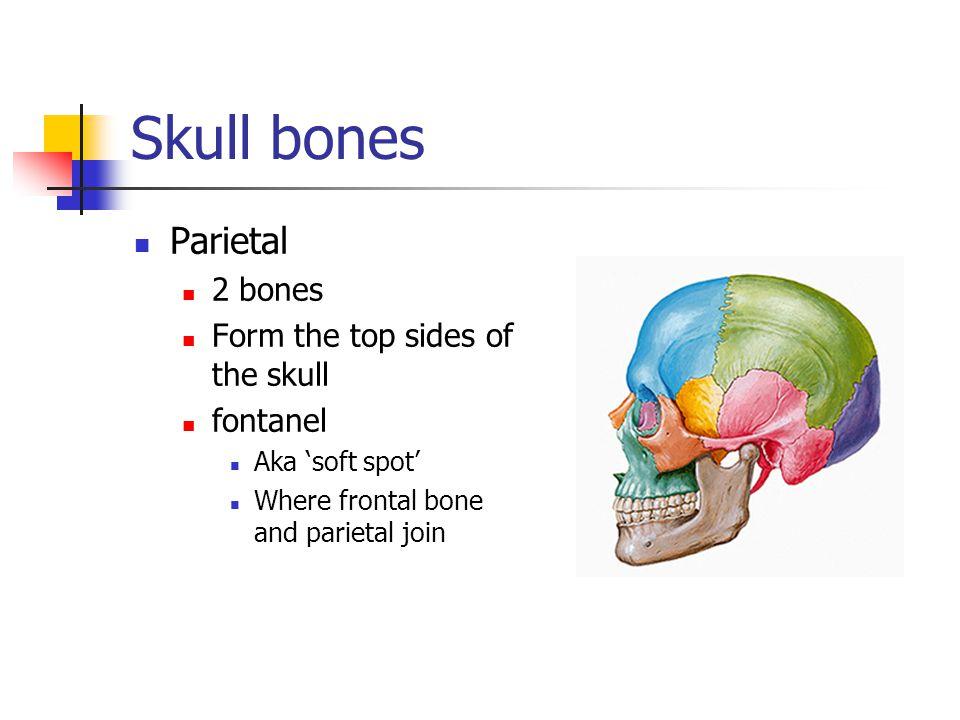 Skull bones Parietal 2 bones Form the top sides of the skull fontanel