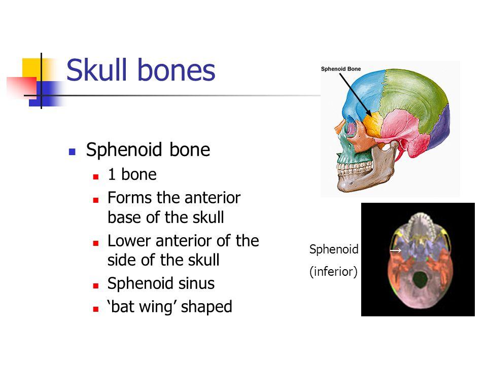 Skull bones Sphenoid bone 1 bone Forms the anterior base of the skull