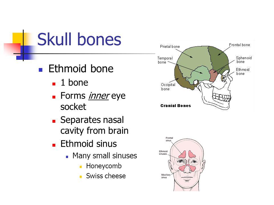 Skull bones Ethmoid bone 1 bone Forms inner eye socket