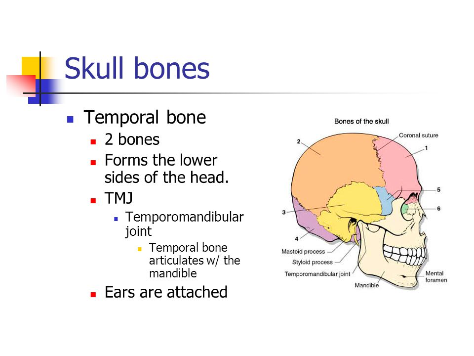 Skull bones Temporal bone 2 bones Forms the lower sides of the head.