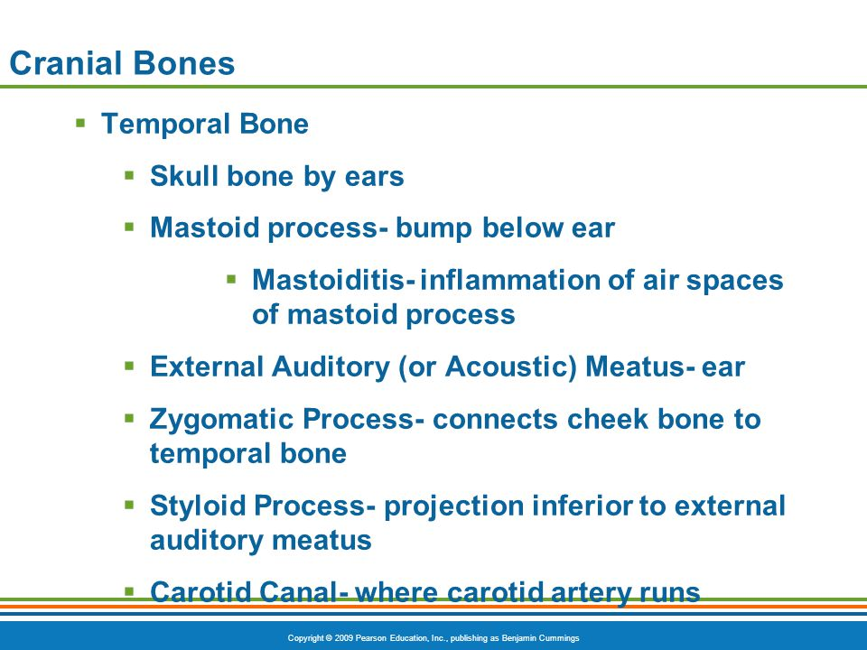 Cranial Bones Temporal Bone Skull bone by ears