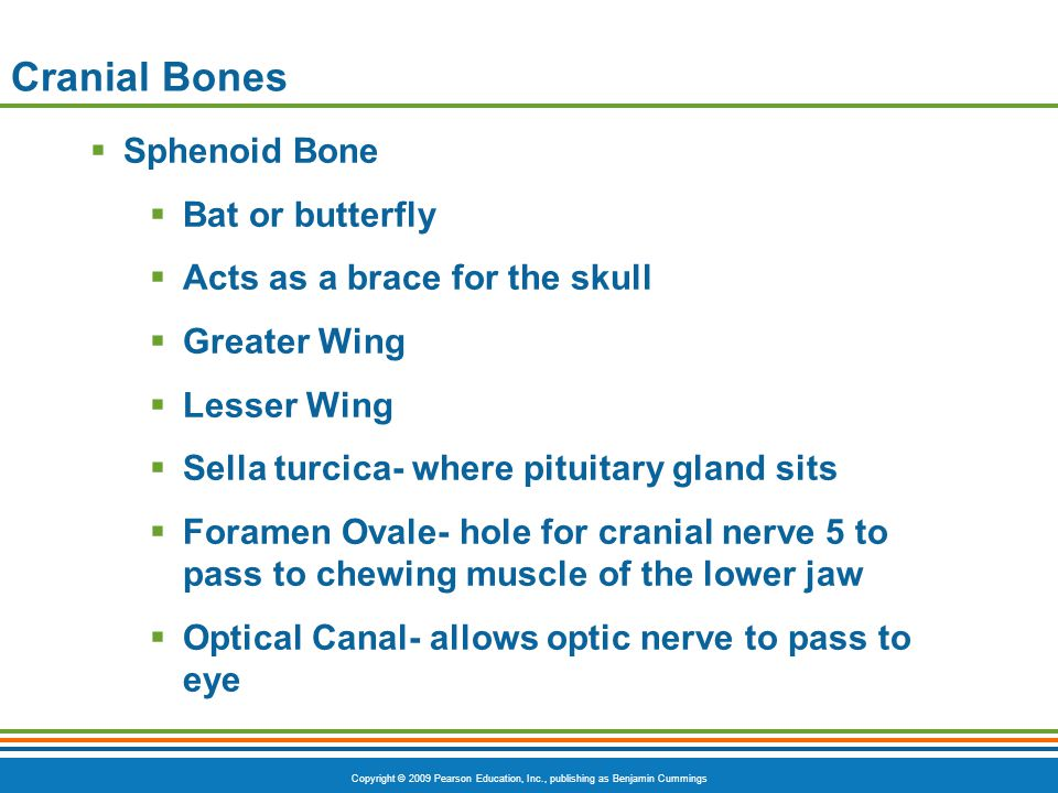 Cranial Bones Sphenoid Bone Bat or butterfly