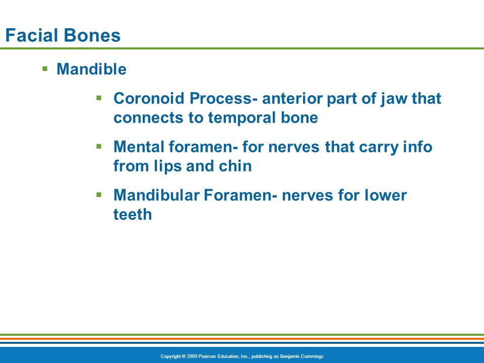 Facial Bones Mandible. Coronoid Process- anterior part of jaw that connects to temporal bone.